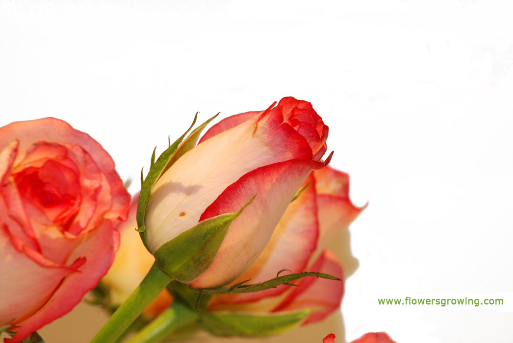 rose flowers pictures gallery  magiel, Beautiful flower